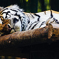 Sleeping Tiger by Pati Photography