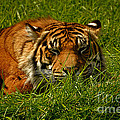 Sleeping Tiger by Rich Priest