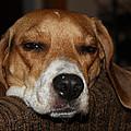 Sleepy Beagle by John Telfer