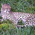 Sleepy Cheetah by Richard Bryce and Family