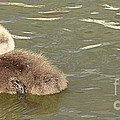 Sleepy Cygnet by Linsey Williams