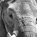 Sleepy Elephant Lady Black And White by Kathy Clark