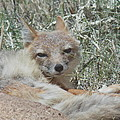 Sleepy Fox by Virginia Kay White
