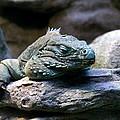 Sleepy Iguana by Greg Thiemeyer