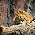 Sleepy Lion by Amy Jackson