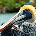 Sleepy Pelican by Nancy L Marshall