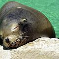 Sleepy Seal by Kathy Barney