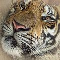Sleepy Tiger Portrait by Kaye Menner