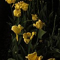 Sleepy Yellow Tulips Of The Silent Nocturne by Guy Ricketts
