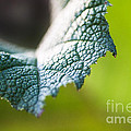Slice Of Leaf by John Wadleigh