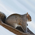 Sliding Squirrel by Jeff Galbraith