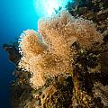 Slimy Leather Coral And Tropical Reef In The Red Sea. by Stephan Kerkhofs