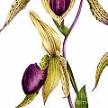 Slipper Orchid by Marie Burke