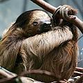 Sloth by Allan Morrison