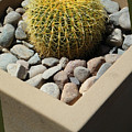Small Barrel Cactus In Planter by Tamara Kulish