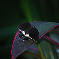 Small Black Butterfly by Thomas Woolworth