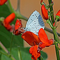 Small Blue Butterfly by Tony Murtagh