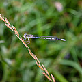 Small Blue Dragonfly by Pati Photography
