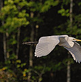 Small Egret Flying - C2730c by Paul Lyndon Phillips