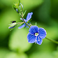 Small Fly On A Small Wildflower - Featured 3 by Alexander Senin