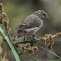 Small Ground-finch Female Feeding by Tui De Roy