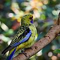 Small Parrot by Jouko Lehto