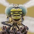 Small Pincertail by Heath Mcdonald