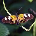 Small Postman Butterfly by Jenny Hudson