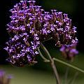 Small Purple Flowers On A Verbena Plant by Jason O Watson
