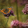 Small Tortoiseshell Butterfly by Clare Bambers