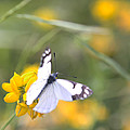 Small White Butterfly On Yellow Flower by Belinda Greb
