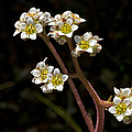 Small White Flowers by Betty Depee