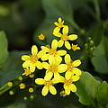 Small Yellow Flowers by Goyo Ambrosio