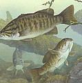 Smallmouth Bass by Mountain Dreams