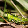 Smaragd-green Grasshopper by Jivko Nakev