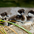 Smew Ducklings On Shore by Anthony Mercieca