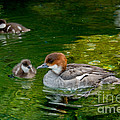 Smew With Ducklings by Anthony Mercieca