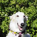 Smiling Borzoi Dog by Christian Lagereek