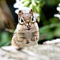 Smiling Chipmunk by Cheryl Baxter