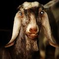 Smiling Egyptian Goat II by Doc Braham