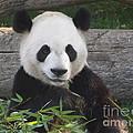 Smiling Giant Panda by Lingfai Leung