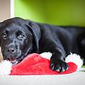 Smiling Lab Puppy by Veronika Polaskova