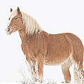 Smiling Palomino In The Snow by James BO Insogna