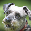 Smiling Schnauzer by Elvis Vaughn