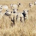 Smiling Sheep by Tim Hester