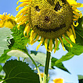Smiling Sunflower by Donna Doherty