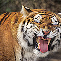 Smiling Tiger Endangered Species Wildlife Rescue by Dave Welling