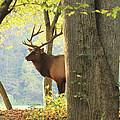 Smoky Mountain Elk by Doug McPherson