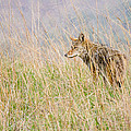 Smoky Mountains Coyote by Bill Swindaman