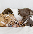 Smooth Collie Puppies Taking A Nap by Martin Capek